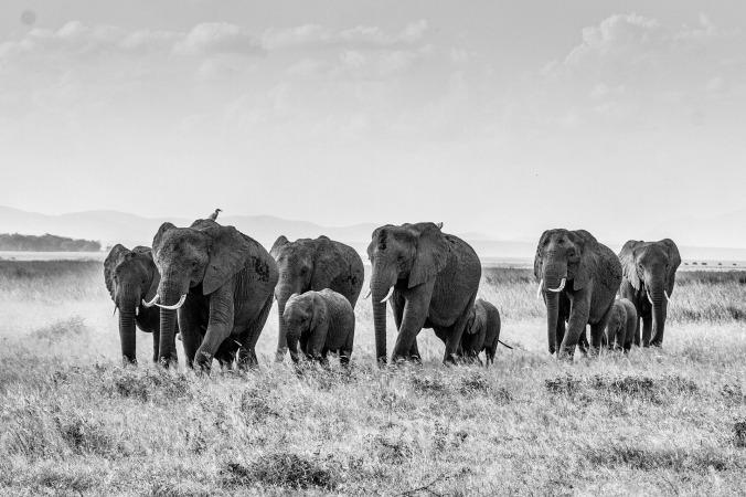 african-bush-elephant-283867_1920